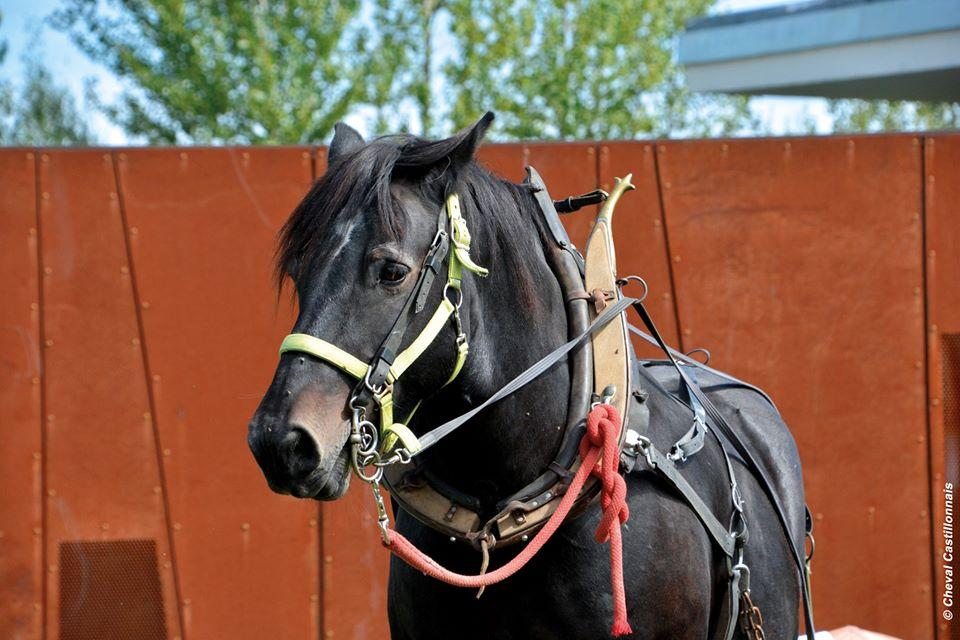 Las cualidades multiusos del caballo Castillonnais, una de las ultimas razas de caballos de montaña de Francia