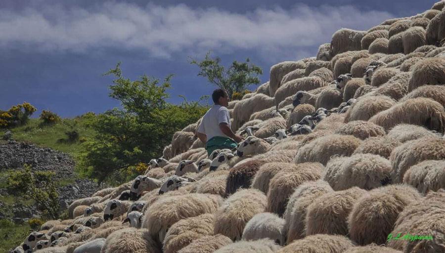 Trashumancia, un patrimonio cultural para acercar las ovejas a la sociedad